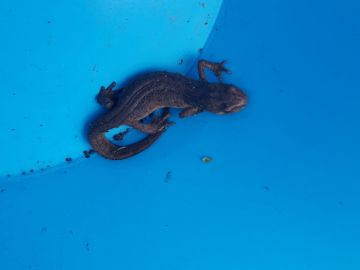 The-Palmate-Newt-this-is-a-female-found-on-the-Stisted-allotments-in-March-2020-near-the-Wildlife-Pond.-It-is-an-endangered-species-in-some-parts-of-Europe.1